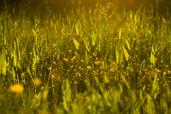 Summer Evening Meadow 03 - Explore (tommyscapes) Tags: flowers sunset wild summer macro green nature overgrown grass sunshine yellow evening warm dof bokeh meadow fresh canon70200mmf28lis canon7d tommyscapes