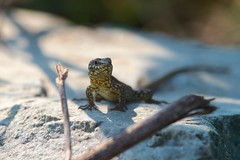 Common Wall Lizard (Podarcis muralis) (piazzi1969) Tags: italy nature wildlife lizards trentino reptiles herps podarcis valsugana roncegno