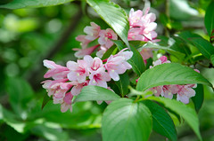 Weigela hortensis (Clione Limacina) Tags: 1685mm