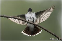 "Eastern Kingird (130710-2618) (Earl Reinink) Tags: ontario bird nature birds photography earl peninsula ""bird ""niagara photography"" ""nature ""earl flight"" reinink"""