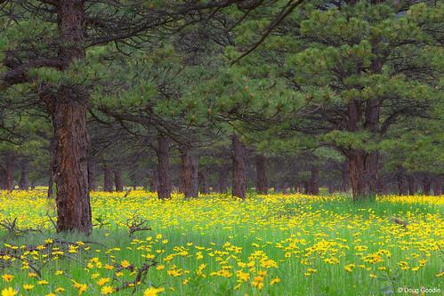 Photo - Wildflower meadow under ponderosa pines.