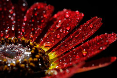 Rain Flower (Jchales.co.uk) Tags: red sun black flower water rain yellow night canon drops day colours flash spray dew 7d catchy canonef100mmf28macro 580exii jchalescouk