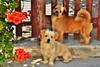 ~~Petits chiens Crétois~~ (Joélisa) Tags: flowers dogs fleurs grèce chiens crète takenwithlove lovelyflickr goldenachievement juillet2013