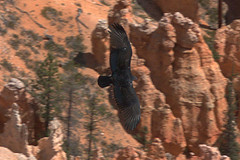 Bryce Canyon #5 - Turkey vulture on patrol (G&R) Tags: park red rock turkey nps canyon national hoodoo bryce vulture