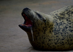 Sleepy Seal (Alexandra Quarterman) Tags: cute edinburgh sleepy seal dribble deepseaworld sealsanctuary