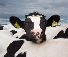 Curious cow (Alex Verweij) Tags: canon fun funny cows lol young 7d curious polder zwart wit koe koeien kalf 10mm nieuwsgierig eemnes 2013 youngcow alexverweij eemnesserpolder