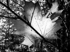 Transillumination (Antti Tassberg) Tags: autumn windows blackandwhite bw tree fall monochrome yellow mobile espoo nokia leaf maple phone bokeh autumncolors puu 1020 syksy vaahtera lehti carlzeiss lumia ruska pureview iphoneography lumia1020