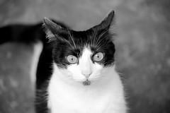cat (laurw) Tags: blackandwhite cats blancoynegro animal animals cat gatos gato animales