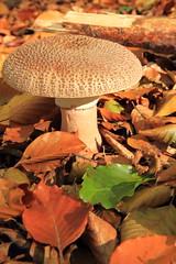 Untitled (RW-V) Tags: autumn mushrooms herbst herfst pilze apeldoorn paddestoelen champignons canonefs1755mmf28isusm hoogbuurlo canoneos60d lautumne