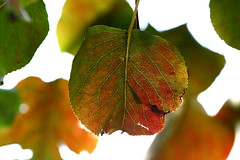 Autumn (Chelsea188) Tags: autumn light red orange plant tree green fall nature colors leaves yellow season outside leaf colorful changing hanging veins