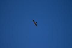 13042013-IMG_2185.jpg (johnny.farquet) Tags: animaux oiseaux gypatebarbu