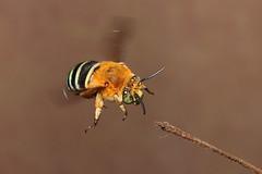 Landing gear out (Jenny Thynne) Tags: australia brisbane bee queensland hymenoptera bluebandedbee amegilla amegillacingulata zonamegilla