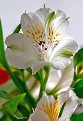 4096 (fpizarro) Tags: white flower minasgerais branco flor mg belohorizonte bh astromelia astromlia fpizarro alstromlia