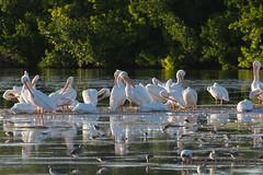 White Pelicans (al5651) Tags: bird nature unitedstates florida sanibel sanibelisland whitepelican wetland leecounty fortmyers 70300 southwestflorida dingdarlingnwr nikon70300mmf4556vr al5651 nikond7100