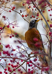 American Robin -IMG_1320-Redigera (Hogge2k) Tags: usa bird robin birds pittsburgh pennsylvania pittsburghzoo americanrobin fågel canoneos60d vandringstrast ef70300mmf456lisusm