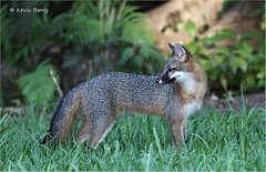 Gray Fox (Kevin B Photo) Tags: park autumn trees wild usa brown plant color tree green fall nature beautiful beauty grass horizontal closeup america outside outdoors one day exterior unitedstates florida native wildlife south peaceful calm southern vegetation daytime fl southeast ferns serenitynow kevinbarry dadecounty wowiekazowie