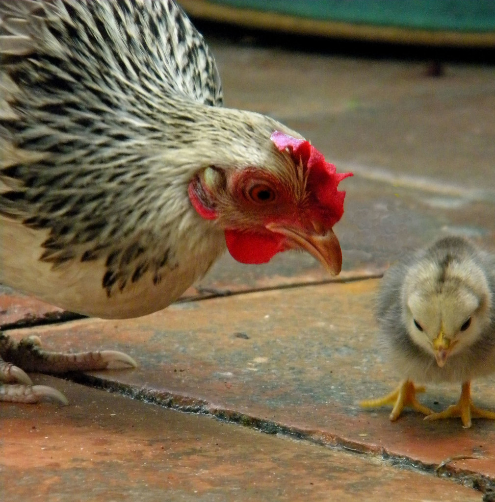 The World's Best Photos of chick and pollito - Flickr Hive Mind