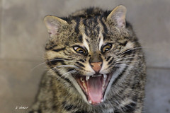Vissende kat (K.Verhulst) Tags: vissendekat fishingcat cats blijdorp blijdorpzoo rotterdam nl ruby3 ruby10 ruby15 ruby20 rubyfrontpage rotterdamzoo diergaardeblijdorp kat cat