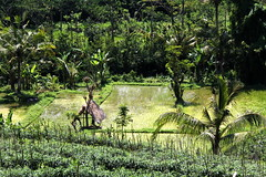Rice terraces in the Sidemen region (asitrac) Tags: landscape nature bali    lessersundaisland nusatenggara indonesia indonsie  southeastasia asia travel 60d canon asitrac iseh sidemen sawah isehsawah2 id eo