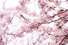 Waiting for spring again.. (miriness) Tags: flowers tree closeup spring dof blossom branches cherryblossom pinkflowers palepink whiteandpink
