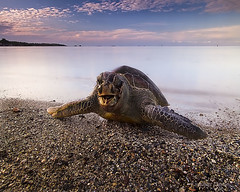 Save sea turtles ..kuala kedah,kedah (Kamaruz Zaman) Tags: nature canon landscapes seascapes filter malaysia 7d sunrises seaturtle kedah waterscapes artofnature leefilter canon7d singhrayfilter leecpl