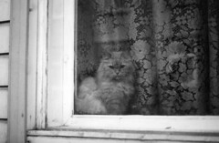cat spying on you (planetails ) Tags: blackandwhite bw window cat 35mm dark tallinn estonia curtain haunted ilfordxp2super ilfordxp2 pentaxmesuper bwfilm filmphotography