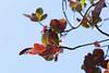 Red leaves (cokesumT) Tags: color digital minoltaaf135f28 sonya850