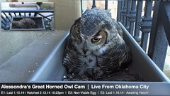 SEE IN LARGE/Feeding Owlette (Birder23) Tags: rat blind nest feeding greathornedowl mrst livecamera owlette owelette oklacityok