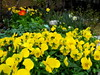 Another freeze?  These blooms won't care! (pawightm (Patricia)) Tags: austin texas explore inmygarden centraltexas yellowpansies midfebruary backyardborder champagnebubblespoppy pawightm rscn85152182014950029 scarleticelandpoppy