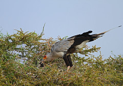 Secretary bird nest (Rainbirder) Tags: kenya samburu secretarybird sagittariusserpentarius buffalosprings rainbirder