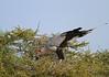 Secretary bird nest (Rainbirder) Tags: kenya samburu secretarybird sagittariusserpentarius buffalosprings rainbirder