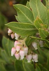 Manzanita Flowers (philipbouchard) Tags: california pink white flower ericaceae shrub wildflower manzanita sanmateocounty countypark arctostaphylos sanpedrovalley