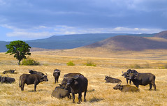 Wild and strong (homo-sapiens) Tags: africa travel family wild mountains nature sunrise river landscape tanzania living buffalo fierce fear sunny safari explore strong serengueti