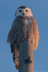 Snowy Owl Watching (Vaughan Weather) Tags: ontario canada bird wings wildlife flight owl flapping vaughan owls avian birdsofprey woodbridge snowyowl raresight 5dmkiii canonf56400mmusmii