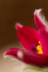 pulsatilla rubra (Kitschi_) Tags: macro spring nikon blossom sigma os pasqueflower frühling 2014 pulsatilla kuhschelle 150mm hsm d7100 pulsatillarubra redpasqueflower rotekuhschelle