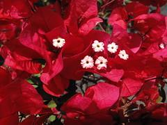 Lanzarote red (Ole Husby) Tags: img2269 spania españa lanzarote puertodelcarmen rød red bougainvillea sooc