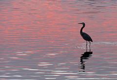 Blue Heron - Pink Water (tclaud2002) Tags: pink heron water sunrise florida stuart blueheron southfork saintlucieriver
