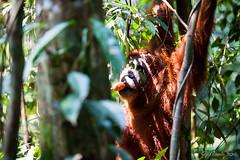 Ratna 4767 (Ursula in Aus (Resting - Away)) Tags: animal sumatra indonesia unesco orangutan ape greatape bukitlawang ratna gunungleusernationalpark earthasia