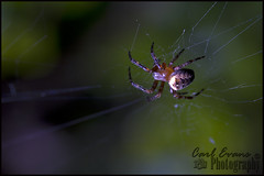 Macro Spider (Carl Evans Photography) Tags: flower macro insect spider web tubes spiderweb petal extension f28 70200mm flowerpetal