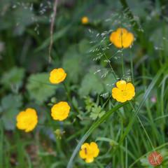 Butterbcups (Kasia Sokulska (KasiaBasic)) Tags: flowers canada macro nature flora bc vancouverisland buttercups