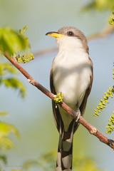 _53F2444 Yellow-billed Cuckoo (~ Michaela Sagatova ~) Tags: dundas yellowbilledcuckoo coccyzusamericanus birdphotography dvca michaelasagatova spring2014