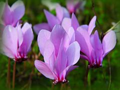 Cyclamen! ('cosmicgirl1960' NEW CANON CAMERA) Tags: pink flowers red green nature gardens purple parks lilac mauve cyclamen yabbadabbadoo worldflowers newtonferrars