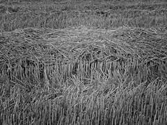 Les bls sont coups (april-mo) Tags: france field noiretblanc wheat harvest nord champ moisson bl blackandwhitepicture