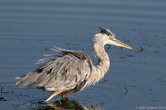 Rubino Great Blue Heron fishing 20150719 San Diego River Channel Robb Field San Diego CA 304 (Ryan Rubino) Tags: ca blue fish heron river fishing san great diego ardea channel herodias swallowing