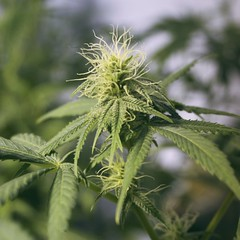 Cannabis (ganjatographer) Tags: cannabis weed pot marijuana medical 420 dank chronic stoner legalization alaska indica sativa