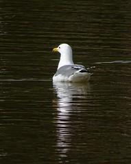 California Gull--Larus californicus (Polioptila caerulea) Tags: californiagull laruscalifornicus larus gull auburndistrictregionalpark placer county california cagu