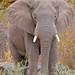 African Elephant (Loxodonta africana) bull