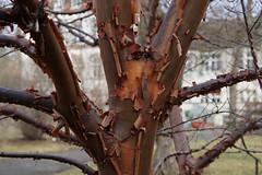 Zimt-Ahorn (ingrid eulenfan) Tags: leipzig botanischergarten baum tree zimtahorn acergriseum rinde borke laubbaum seifenbaumgewächs
