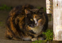 Feral stray Calico cat (suzeesusie) Tags: cat cats stray homeless animal feline street furry beautiful calico outdoors losangeles california nature