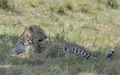 Leopard (male) (tickspics ) Tags: africa africanleopard iucnredlistvulnerable kenya maranorth maranorthconservancy pantherapardus